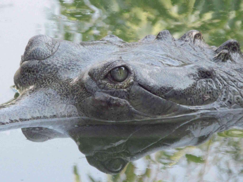 phuentsholing crocodile park image